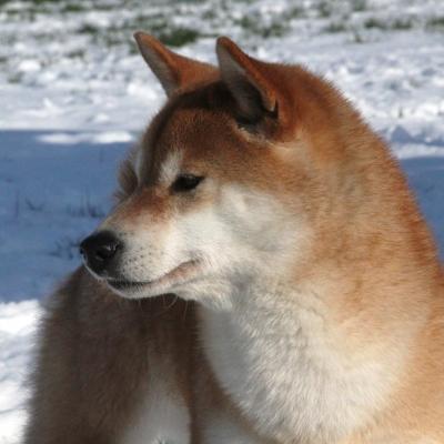 Shiba  et la neige