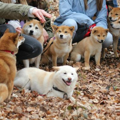 Hillock snowy family's and shiba friends