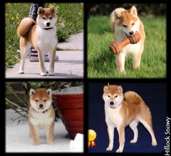 shiba inu from hillock snowy