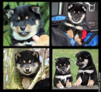 shiba black and tan