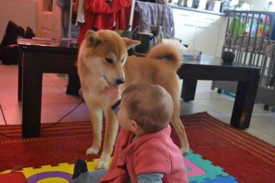 shiba et enfant