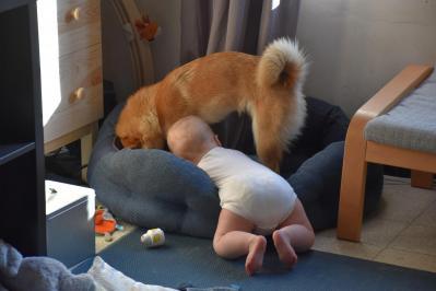 le shiba et l'enfant