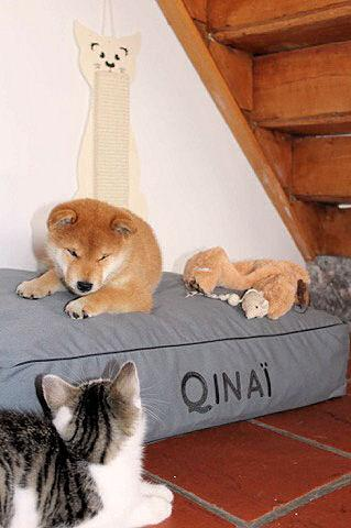 chiot shiba et chaton