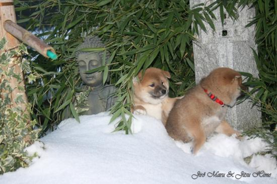 chiot shiba inu from hillocksnwy