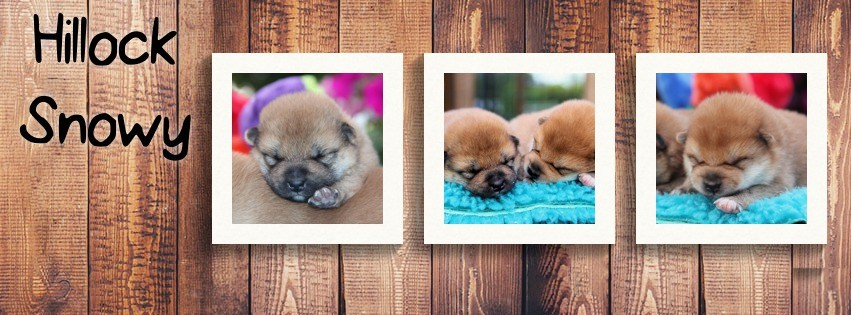 shiba from hillock snowy elevage belgique nos chiots