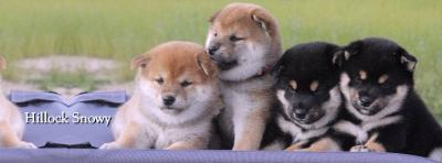shiba inu from hillocksnowy chiots