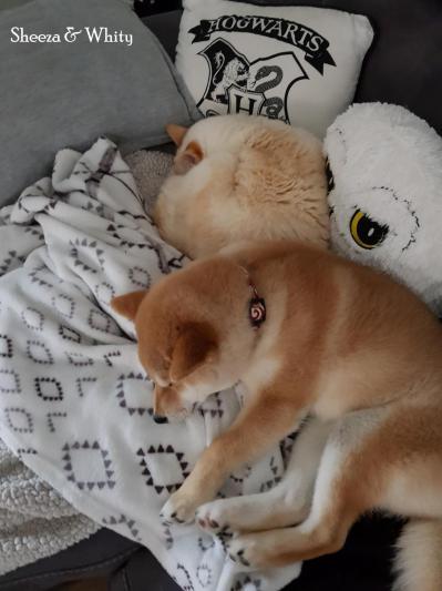 le shiba et la complicité du chat