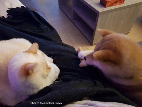 redshiba et chat