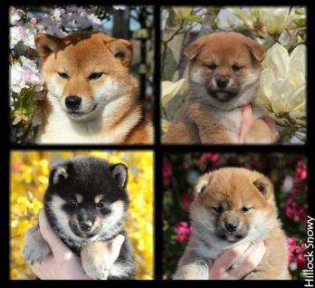shiba inu elevage puppy Belgique