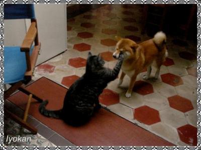 Shiba et chat