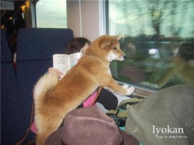 shiba en train
