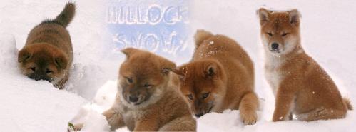 chiots shiba et la neige