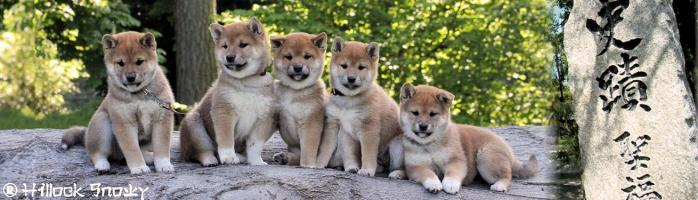 shiba inu elevage chiot hillock snowy