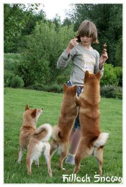 Shiba inu et les enfants