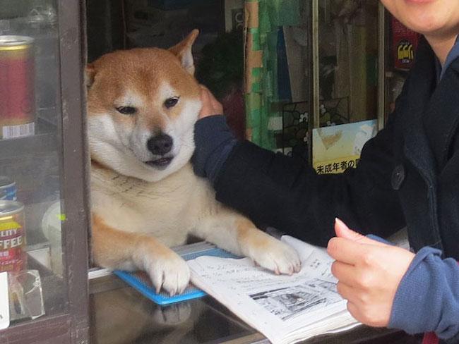 Ce chien ouvre la fenetre aux clients dune petite boutique a cigarette au japon3