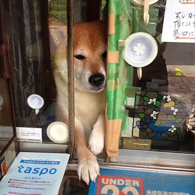 Ce chien ouvre la fenetre aux clients dune petite boutique a cigarette au japon4