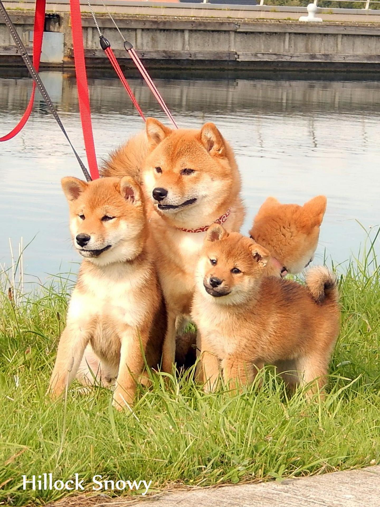 Famille shiba en balade