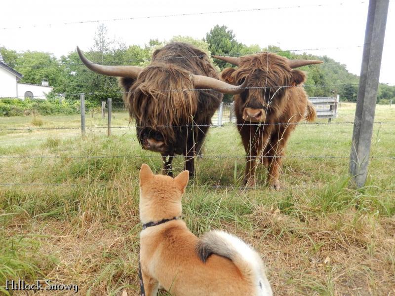 Shiba Haru en balade rencontre avec des highland