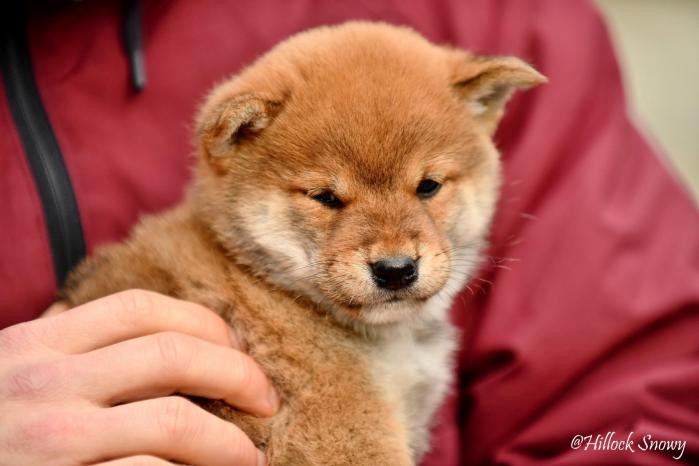Shiba Inu Chiot élevage Belgique from Hillock Snowy