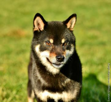 shiba belgique black and tan