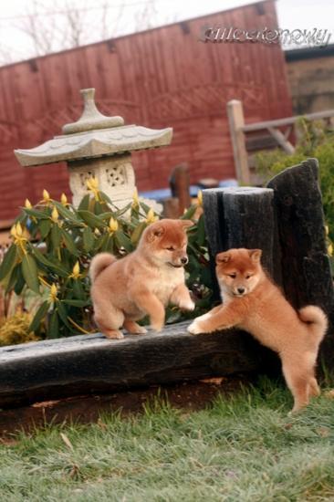 Japan Shiba Inu Dog