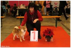 brussels dog show shiba