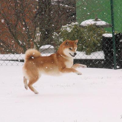 shiba Ichigo from hillock snowy aime la neige