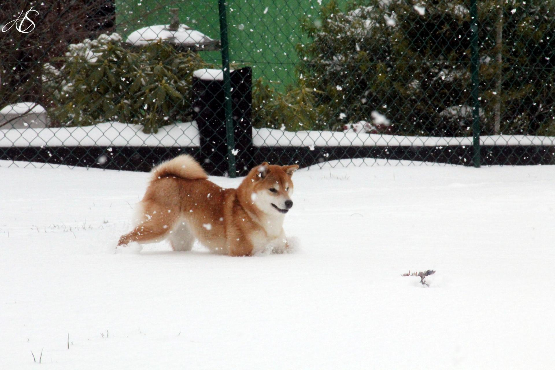 Shiba Ichigo Hime from Hillock Snowy