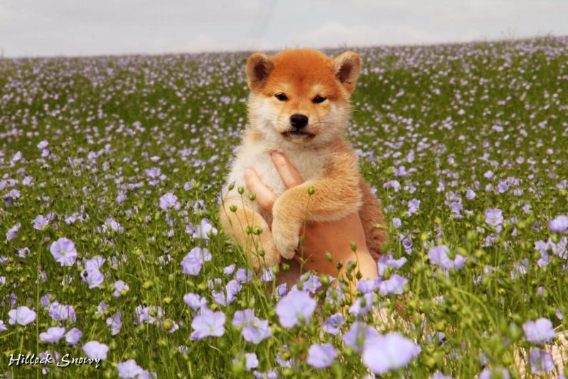 Shiba from Hillock Snowy ® puppies photo