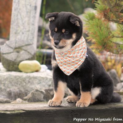 Shiba Pepper from Hillock Snowy