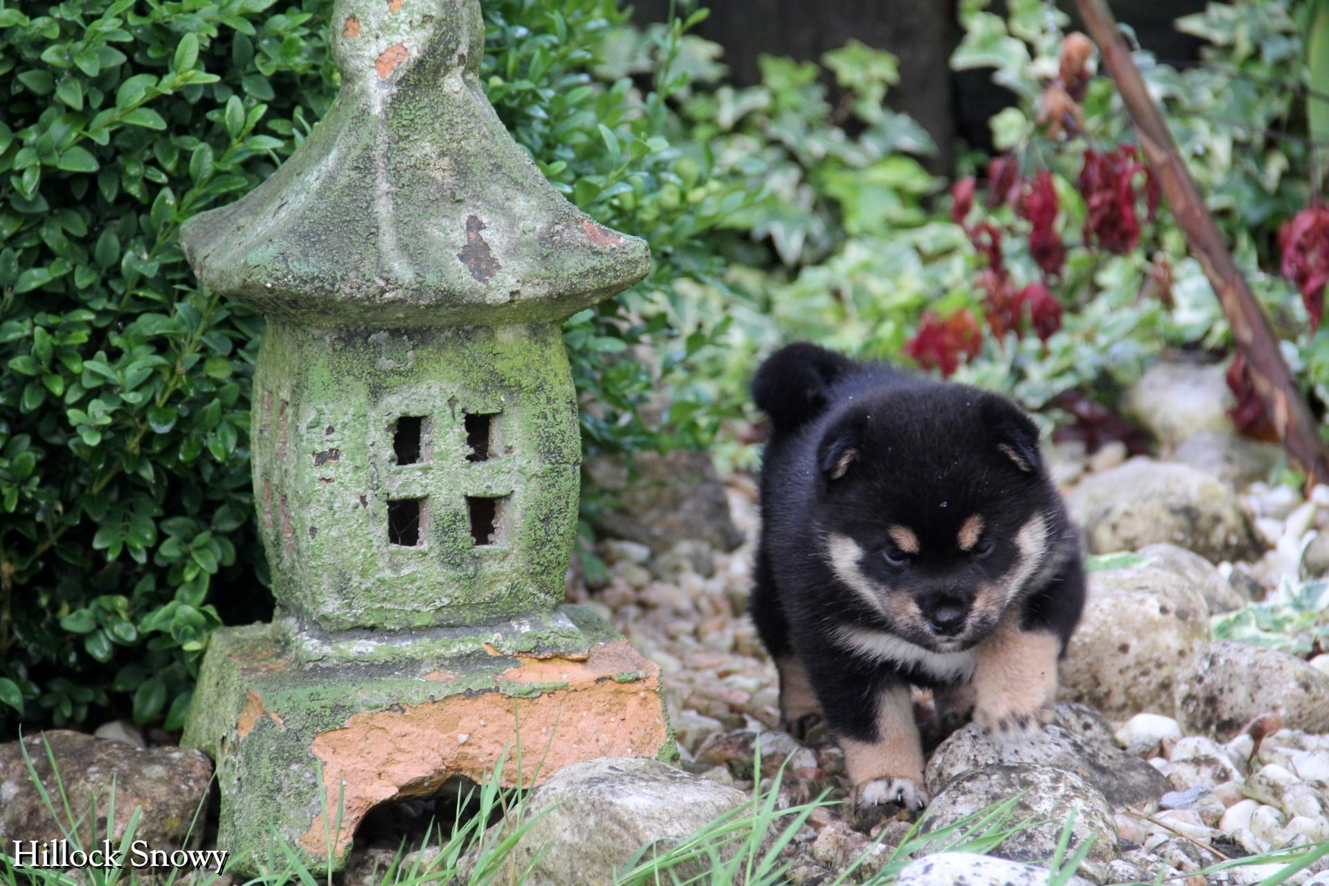 Black and tan shiba puppy