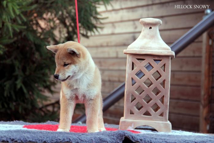 shiba inu puppy belgium