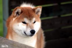 Shiba elevage belgique notre mâle kitai