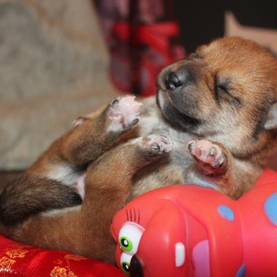 shiba inu chiot from hillock snowy belgique
