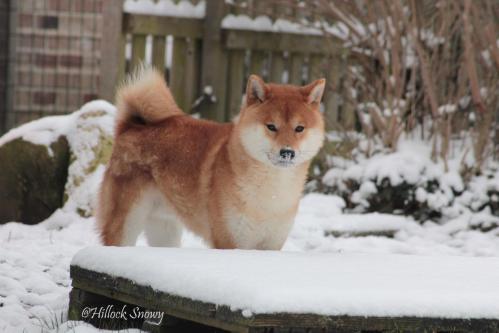 shiba et neige