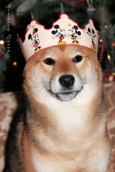 Shiba inu Rois de la galette