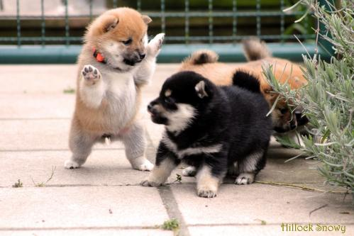 shiba red and black and tan Belgique