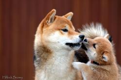 shiba inu male et femelle sesame et roux