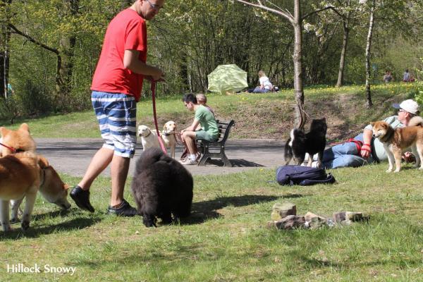 socialisation du shiba aux autres chiens