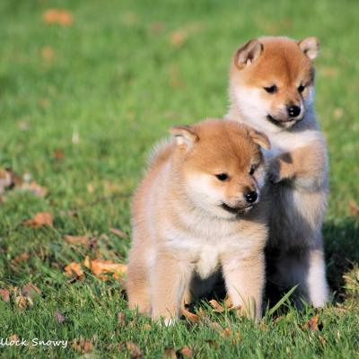 elevage shiba inu belgique from hillock snowy