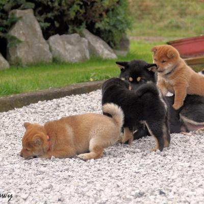 shiba puppy black and tan ,red breed belgium