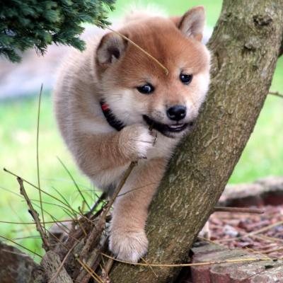 Elevage shiba inu from hillock snowy hainaut Belgique chiot top qualité
