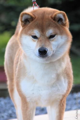 selection d élevage shiba from illock snowy elevage belgique hainaut