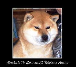 kazakoshi-no-sakuraou-go-yokohama-atsumi.jpg