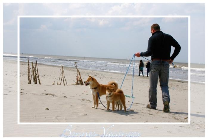 Shiba Inu en laisse élevage Belgique