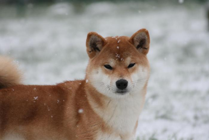 shiba inu élevage belgique shiba et neige