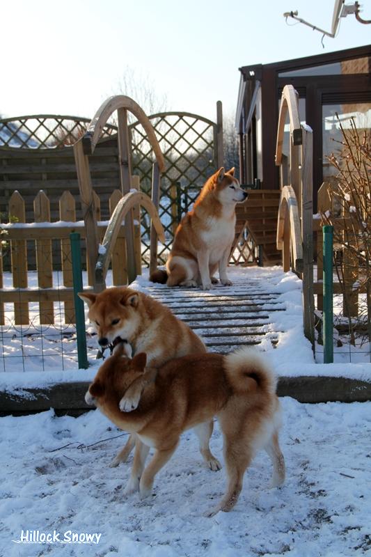 Les shiba et la neige