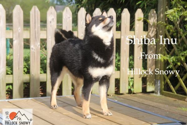 Le Shiba Inu, nouveau chien star sur Instagram