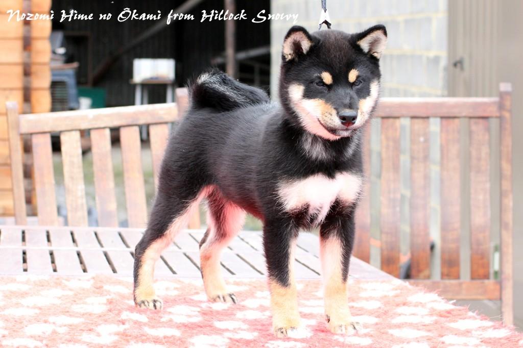 Shiba Nozomi Hime from Hillock Snowy