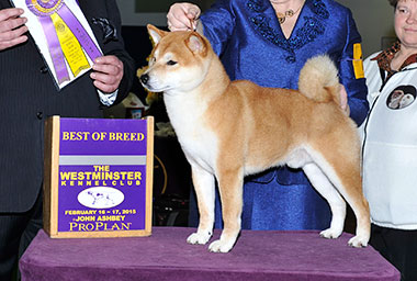 shiba westminster Best of Breed